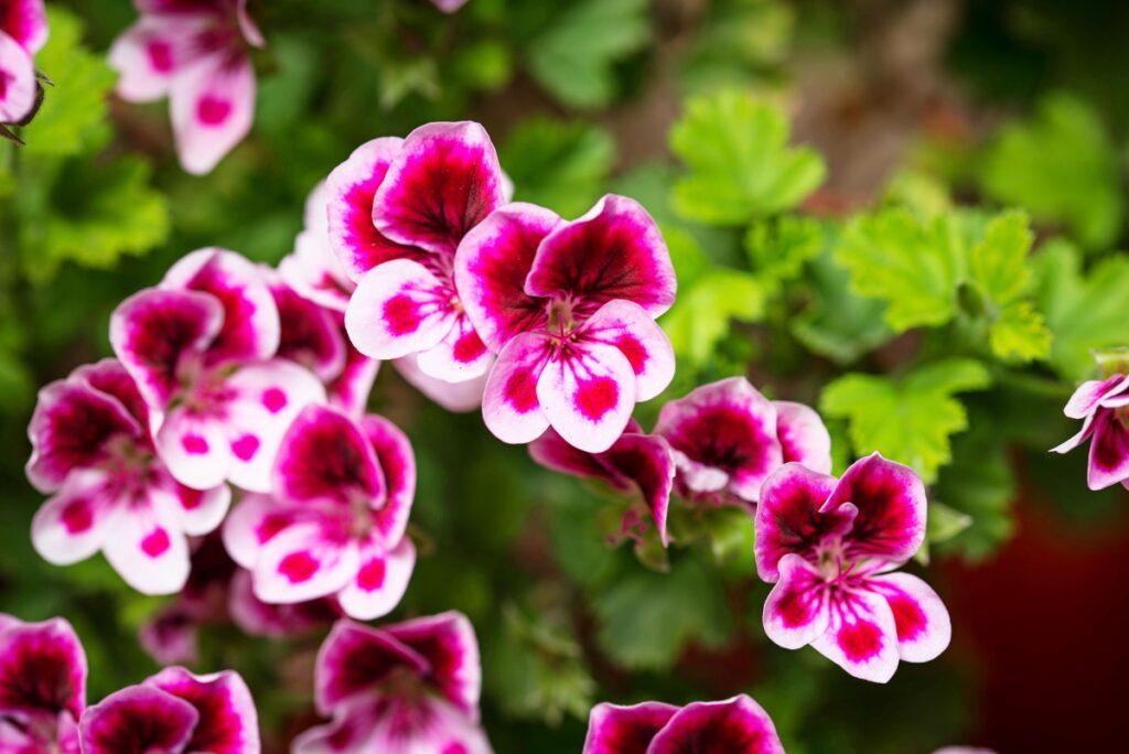 geranium jardin