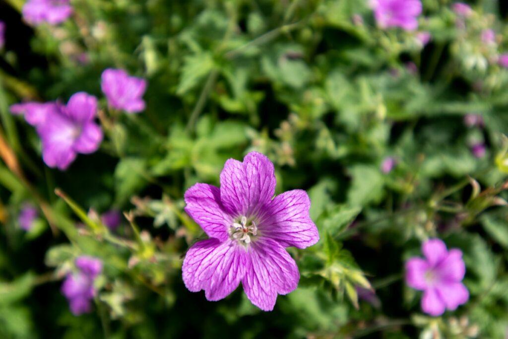 geranium septembre