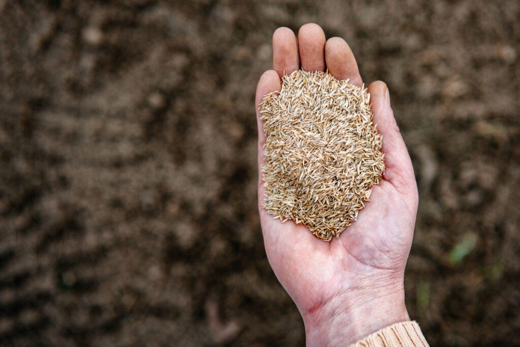 graines d'herbe